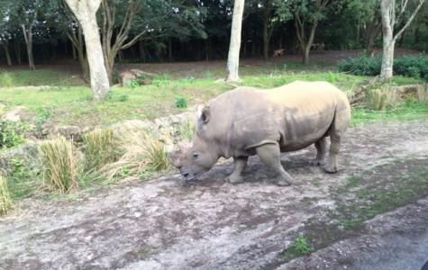 Goodbye Northern White Rhinos?