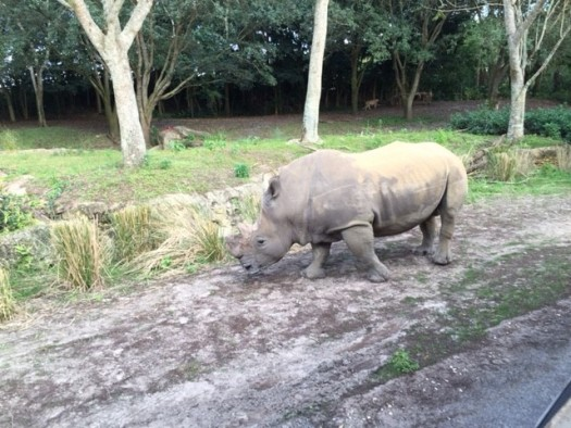 Rhino @ Animal Kingdom Park, Disneyworld