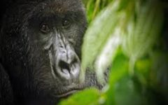 A gift to the gorillas in the mist